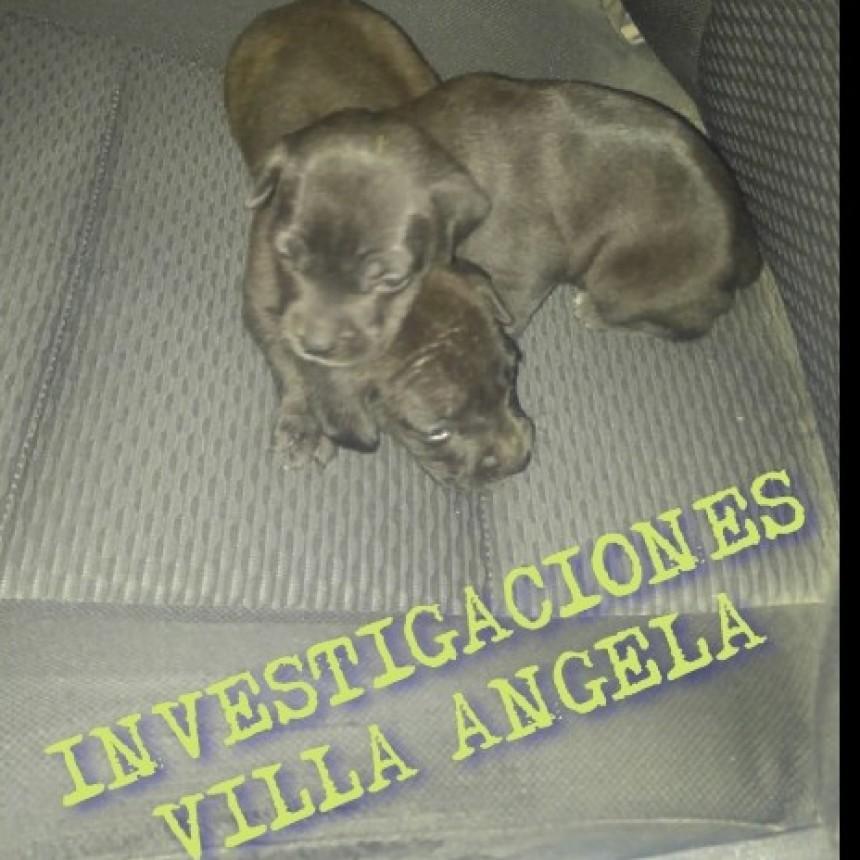 VILLA ÁNGELA: RECUPERAN DOS CACHORRAS DE PITBULL ROBADAS