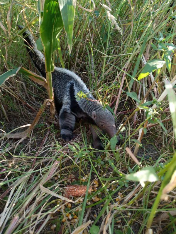 Villa Ángela: Hallaron y rescataron un cachorro de oso hormiguero en una chacra