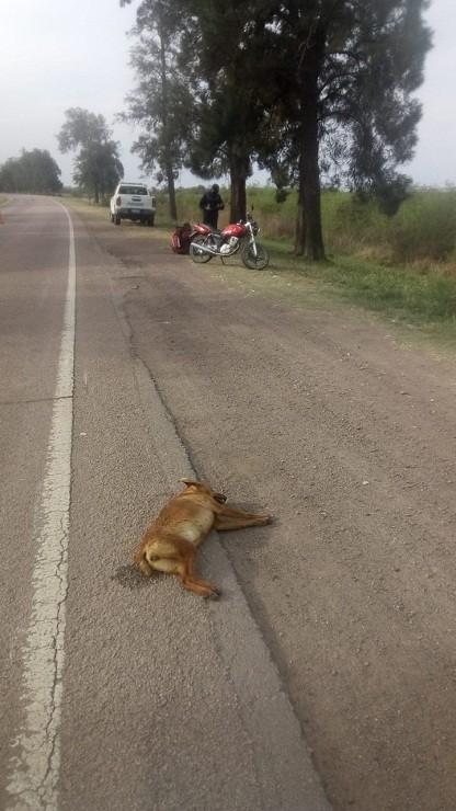 Coronel Du Graty: Un Motociclista Lesionado tras  colisionar con un Animal Canino en Ruta Nacional Nº 95