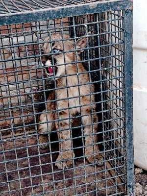 Paraje Tres Estacas: Rescatan a cachorro de puma encerrado en una jaula