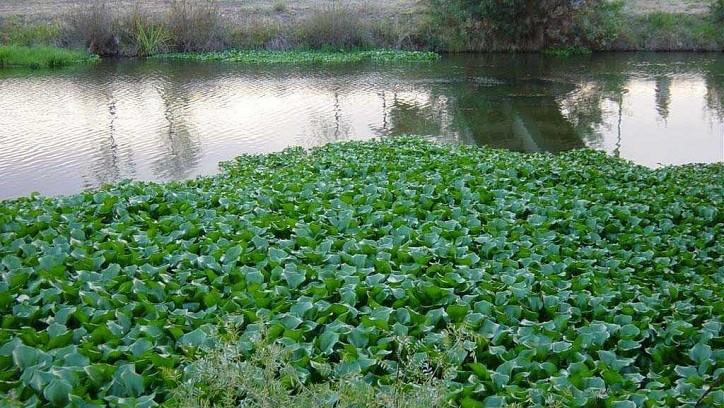 ESTUDIO DE INGENIEROS DE LA UNNE: Proponen generar biogás utilizando camalotes de las lagunas de Resistencia